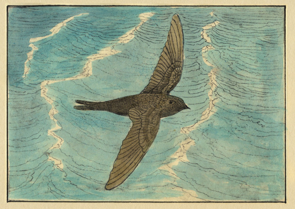 Swifts and Martins of Selborne Swifts over water
