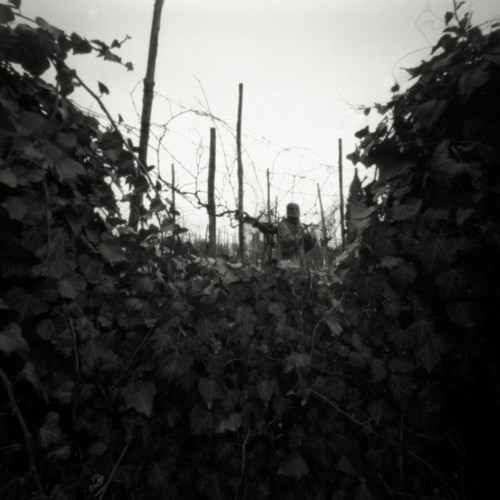 Grape Arbor, Torcello, 2011